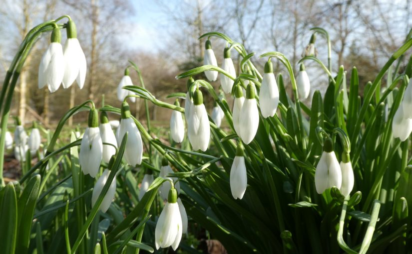 Snowdrops at Linford Manor
