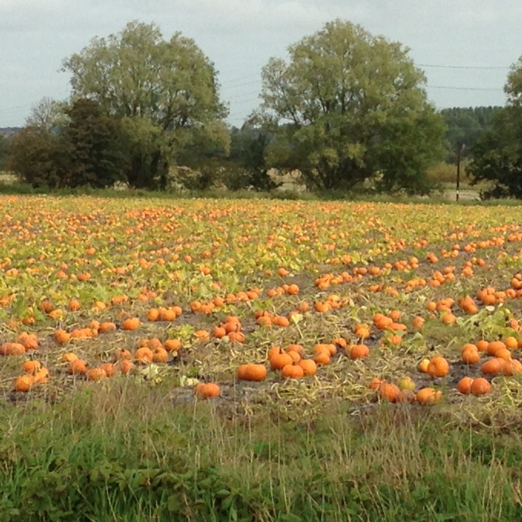 pumpkin patch at Burscough